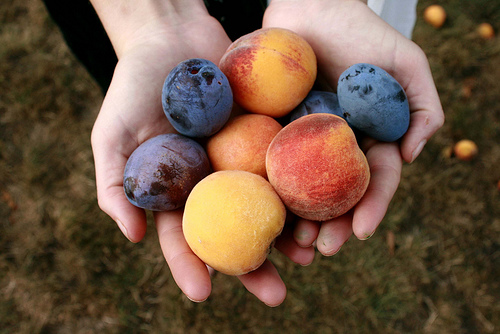 hands overflowing with peaches and plums